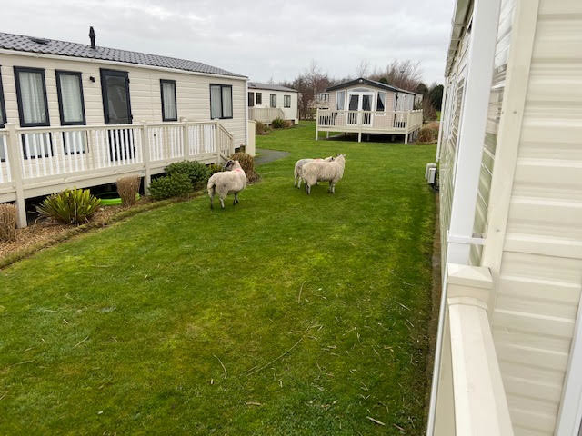 Guddlebeck sheep2
