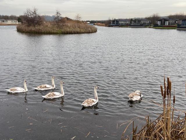 Guddlebeck swans 4