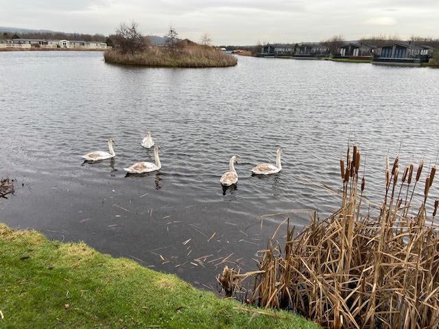 Guddlebeck swans 6